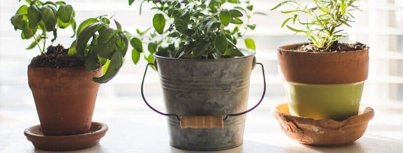 cultivar-en-maceta