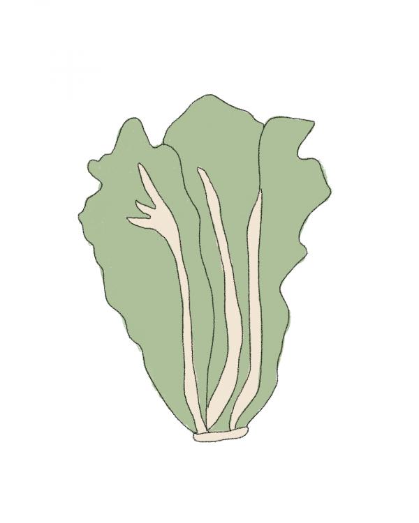 lechuga-semillas-ecologicas