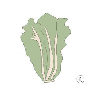 semillas-organicas-lechuga-oreja-burro