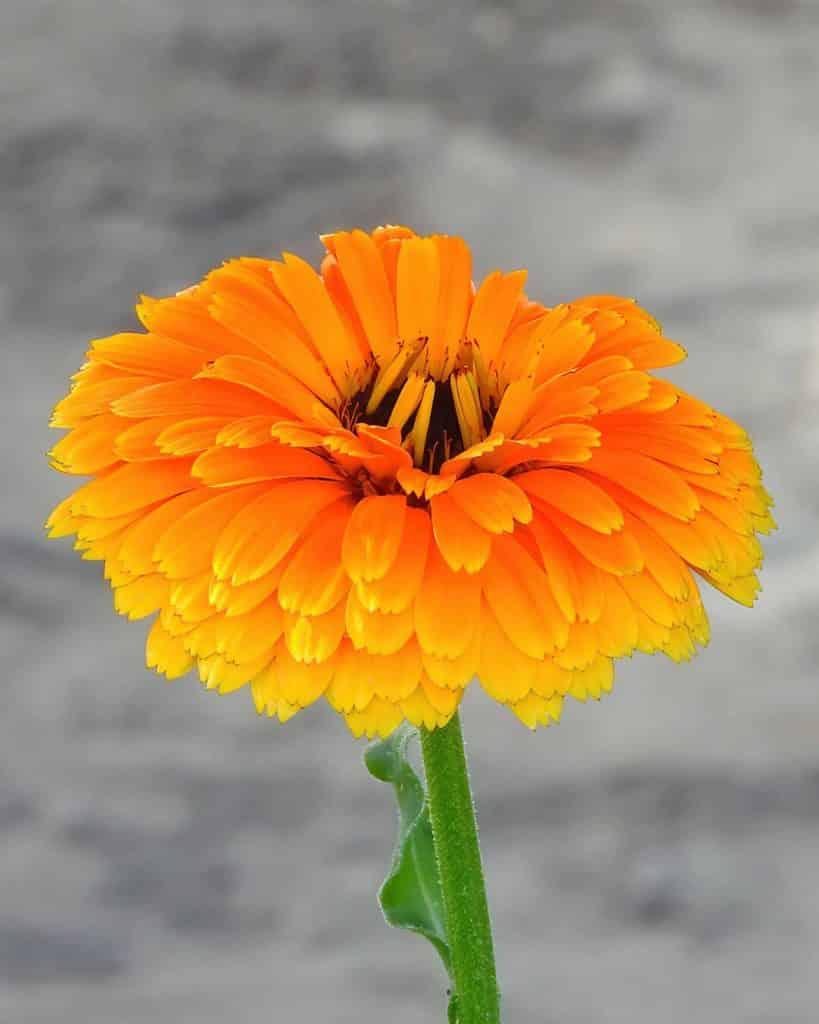 calendula-flor