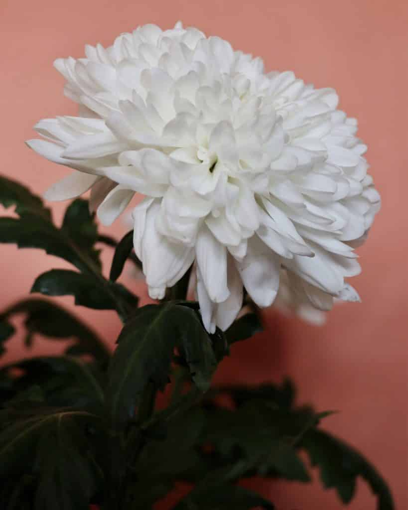 crisantemo-flor