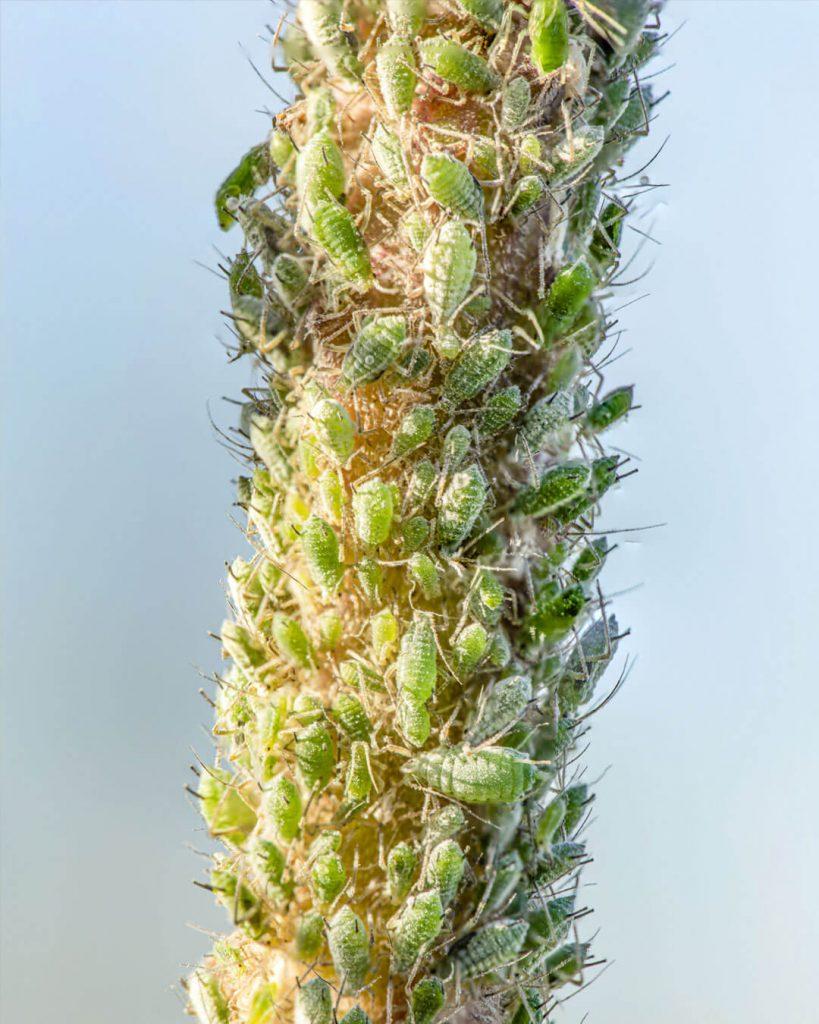 pulgones en mi planta