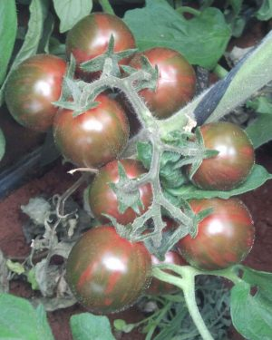 tomate-cherry-huerto-urbano-purplant