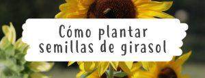 como-plantar-girasol