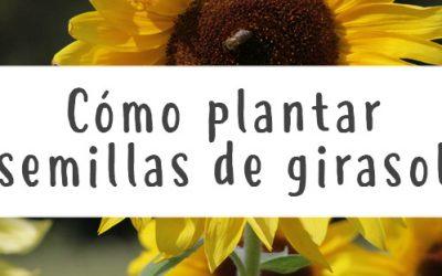 Cómo plantar semillas de girasol