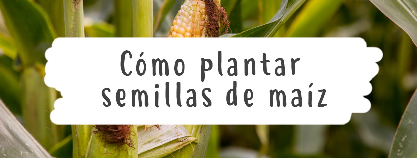 como-plantar-semillas-girasol