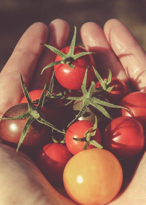 tomate cherry cultivo