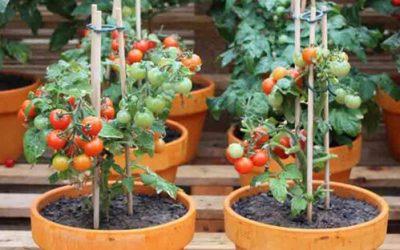 Cómo plantar tomates en maceta