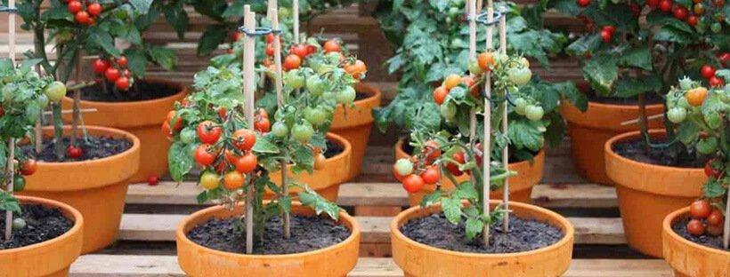 tomatesenmaceta