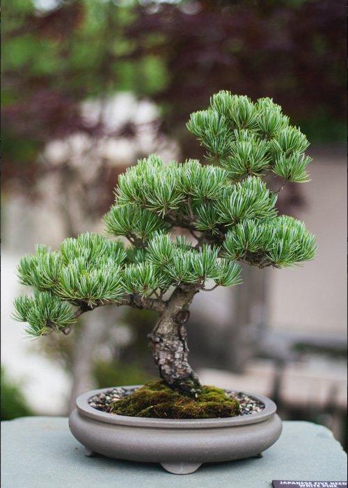 como hacer abono bonsai