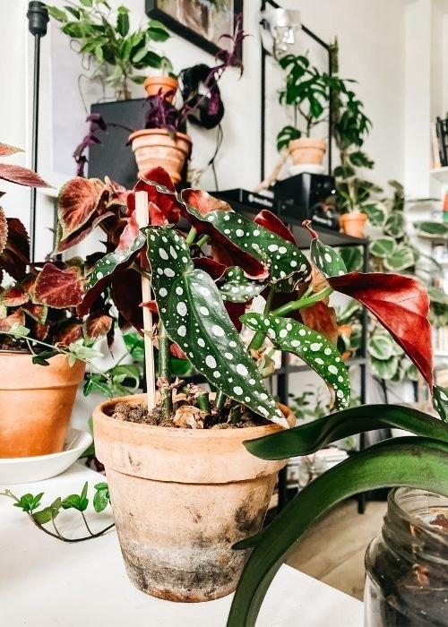 plantas de interior begonia maculata