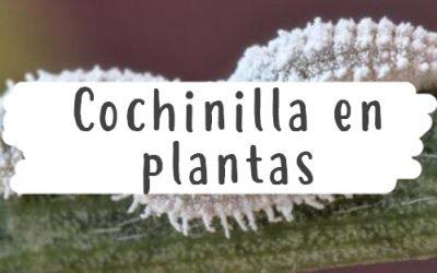 Cochinilla en las plantas