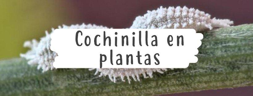 cochinilla-plantas