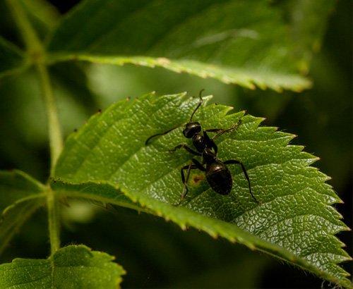 hormigas plaga planta