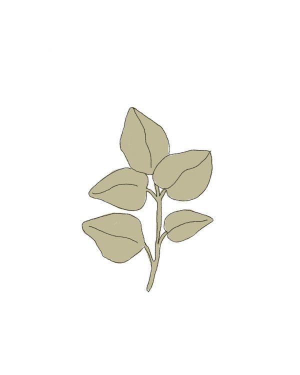 oregano-ilustracion-semillas