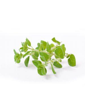 oregano-semillas-planta-fondoblanco