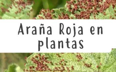 Araña Roja en plantas