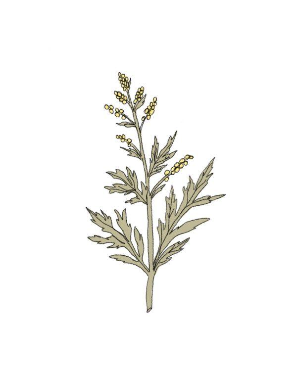 semillas-ecologicas-artemisa