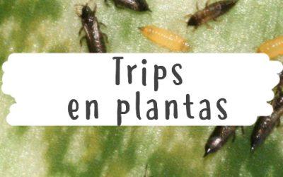 Trips en plantas