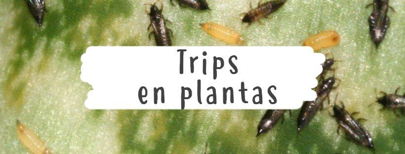 Trips en plantas 5 (1)