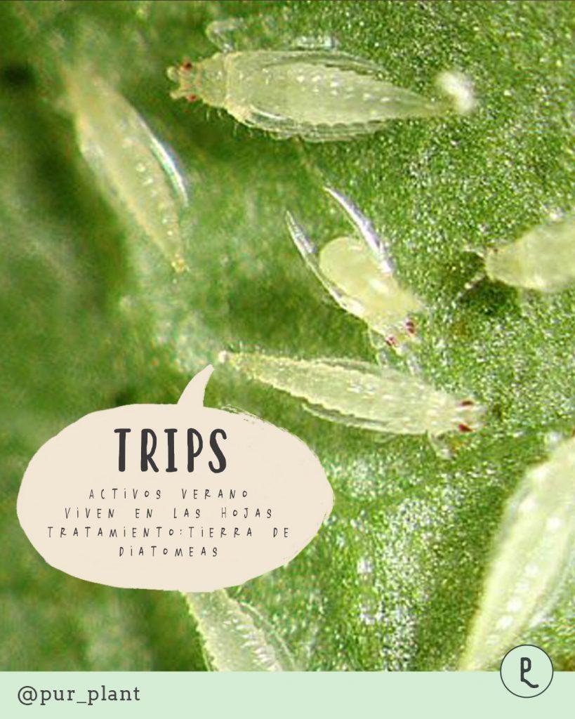 trips-plantas