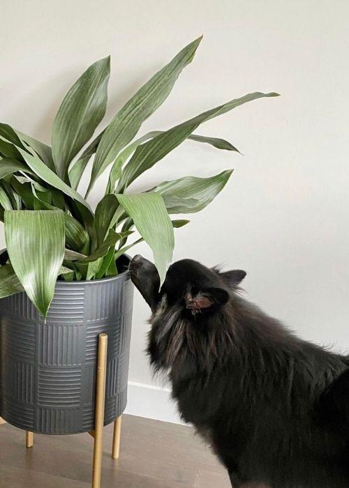 Apidistra Eliator planta