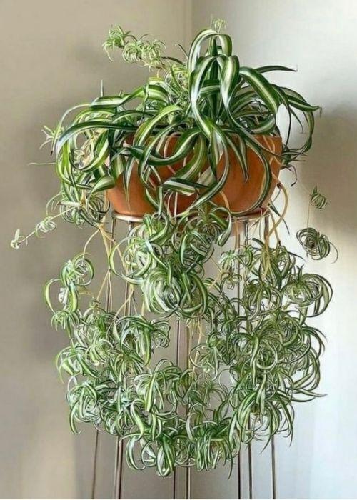 Cinta planta