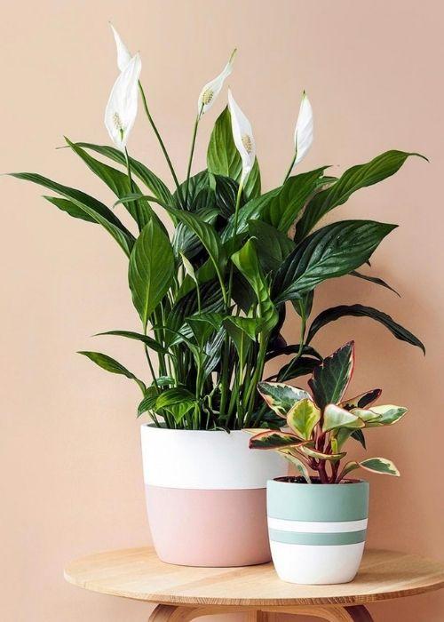 Espatifilo lirio de la paz planta