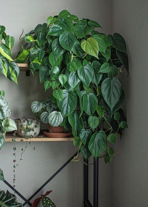 Philodendron planta