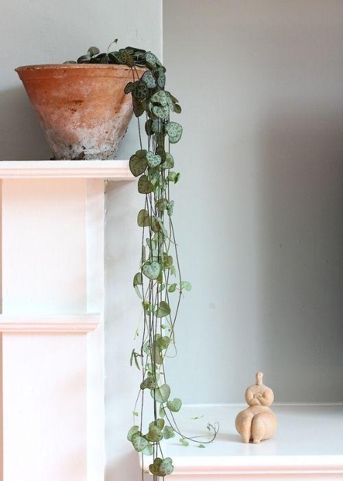ceropegia-woodii-planta-interior-colgante