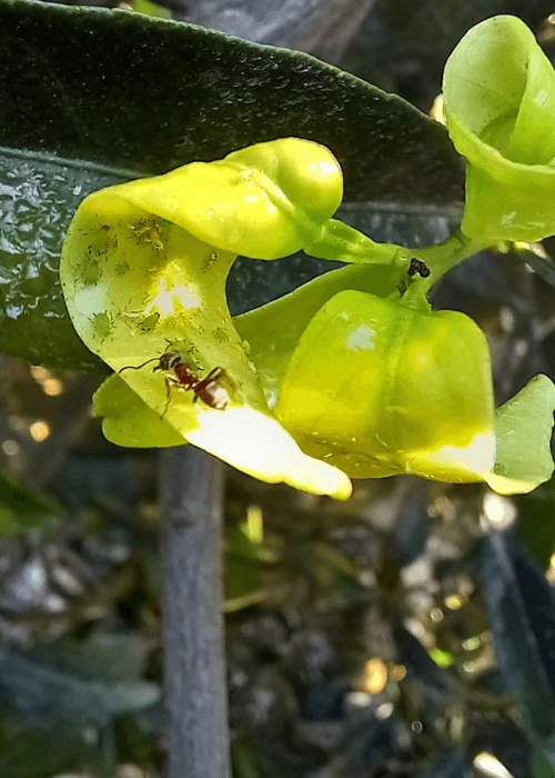 hormiga protegiendo a pulgones