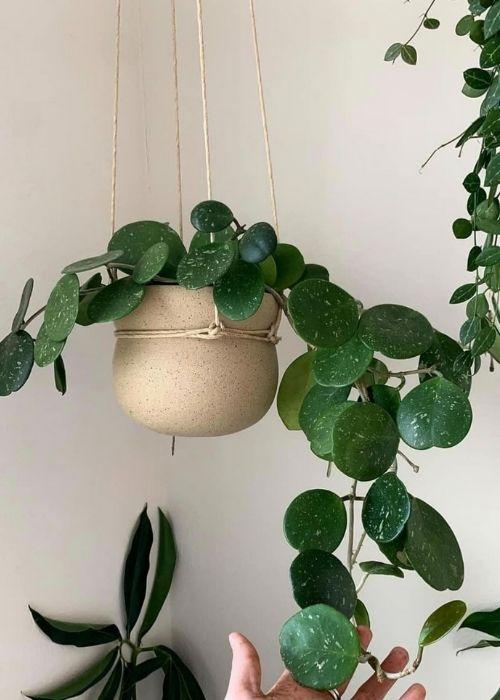 hoya-obovata-planta-colgante