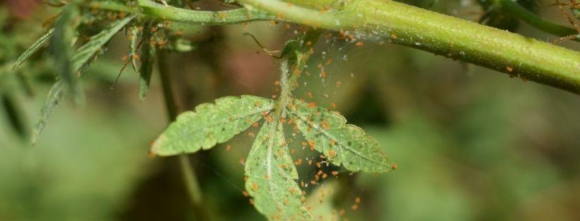 insecticida-araña-roja
