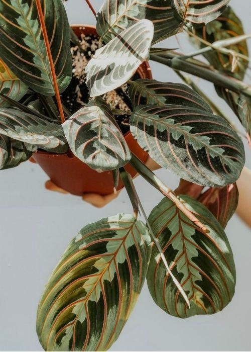 marantaleuconeura-planta-interior-colgante