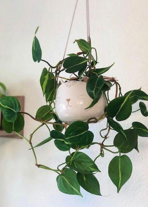 philodendron-brasil-planta-interior-colgante
