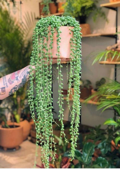 rosario-senecio-rowleyanus-planta-interior-colgante