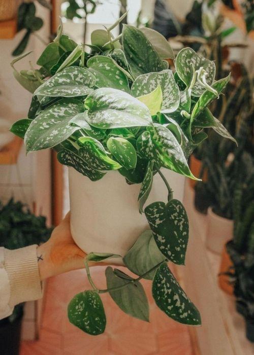 scindapsus-pictus-planta-interior-colgante