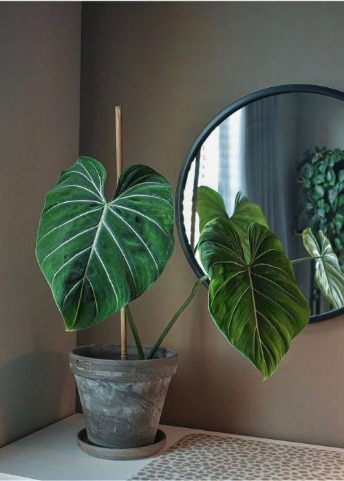 @muplantcollection_ Planta_ Philodendron Gloriosum