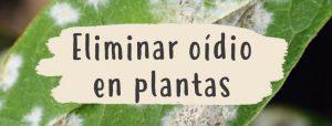 eliminar-oidio-plantas