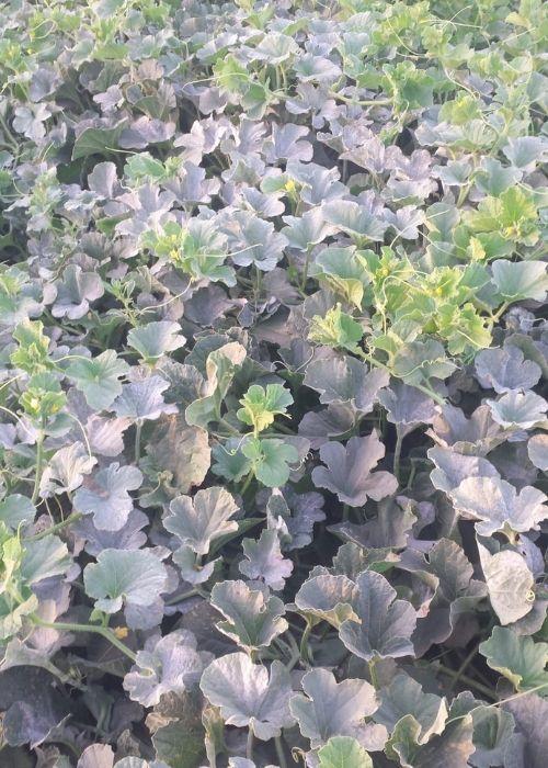 oídio-en-cultivo