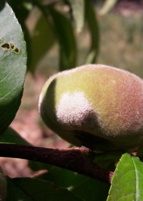 oídio-en-fruto